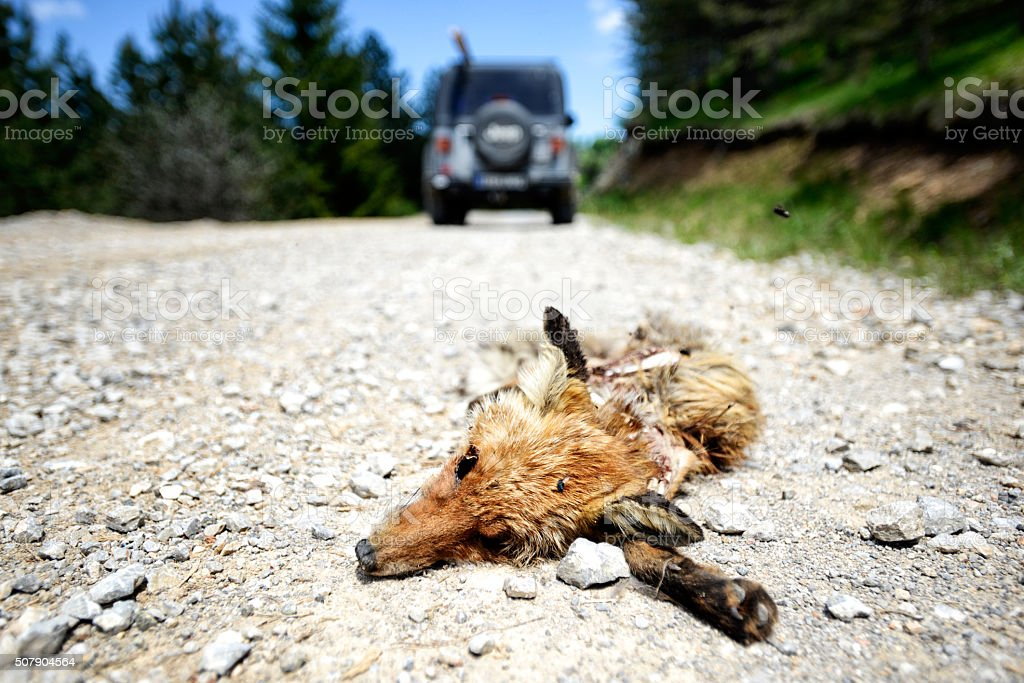 Dead fox on the road stock photo