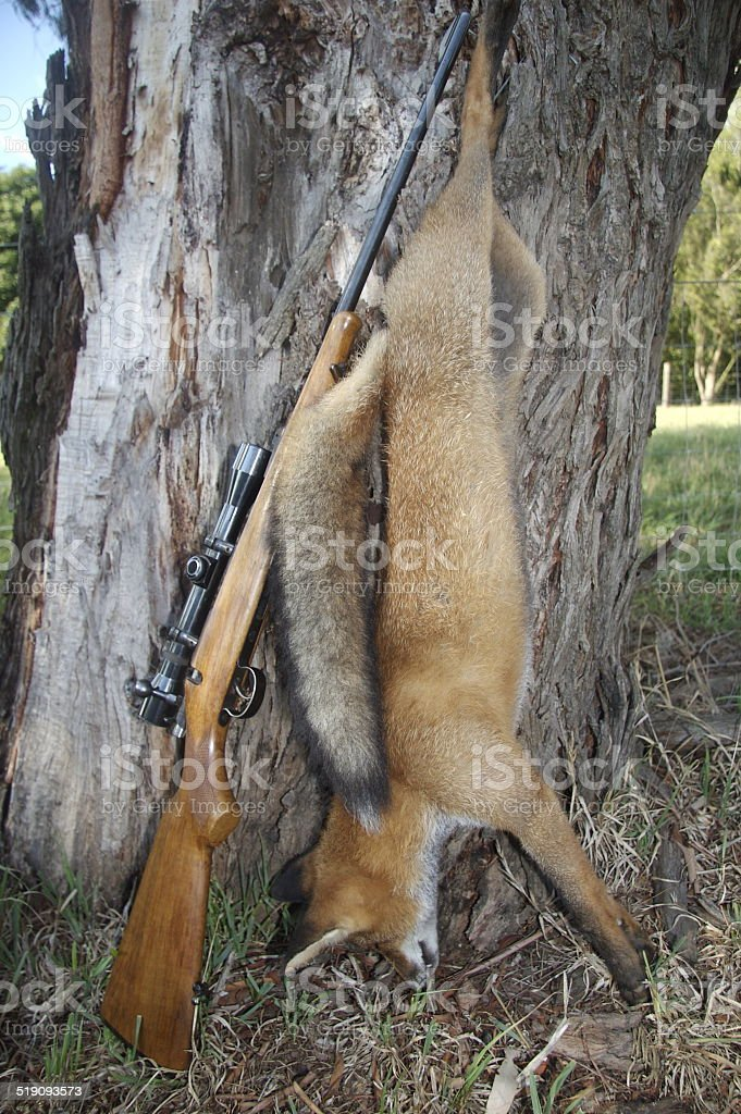 Dead fox with rifle stock photo