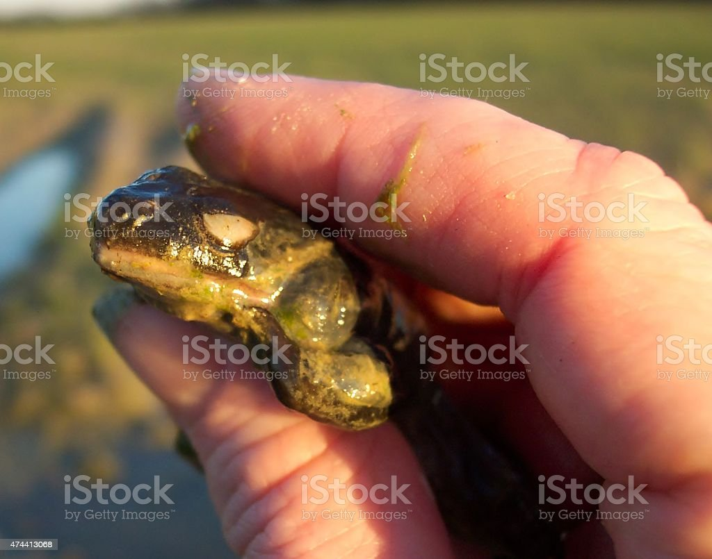 Dead frog from farm pond covered in algae. stock photo