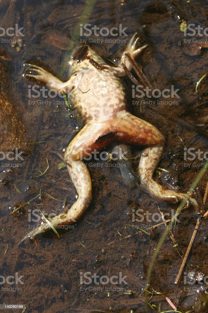 Dead frog in pond royalty-free stock photo