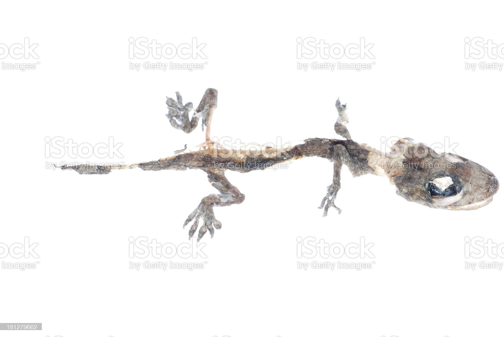 dead gecko skull royalty-free stock photo