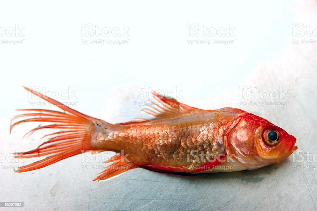 Dead Goldfish Portrait royalty-free stock photo