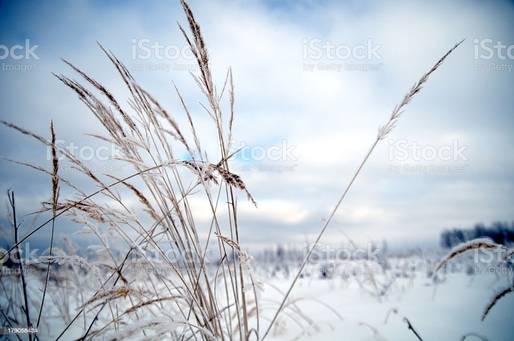 Dead grass in the snow during winter royalty-free stock photo