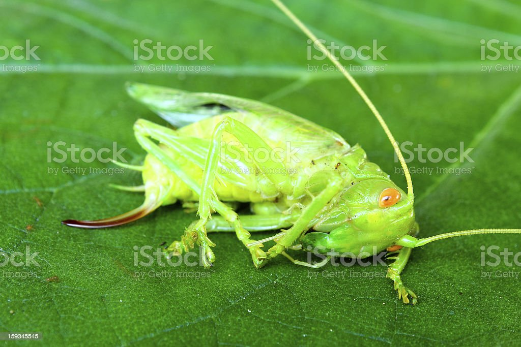 Dead grasshopper on a green leaf royalty-free stock photo