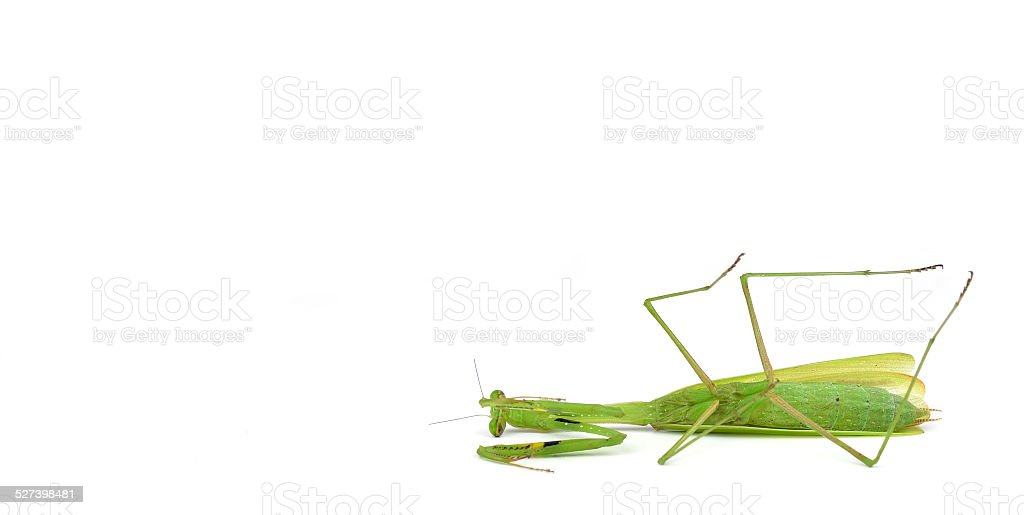 dead Green mantis isolated on a white background stock photo