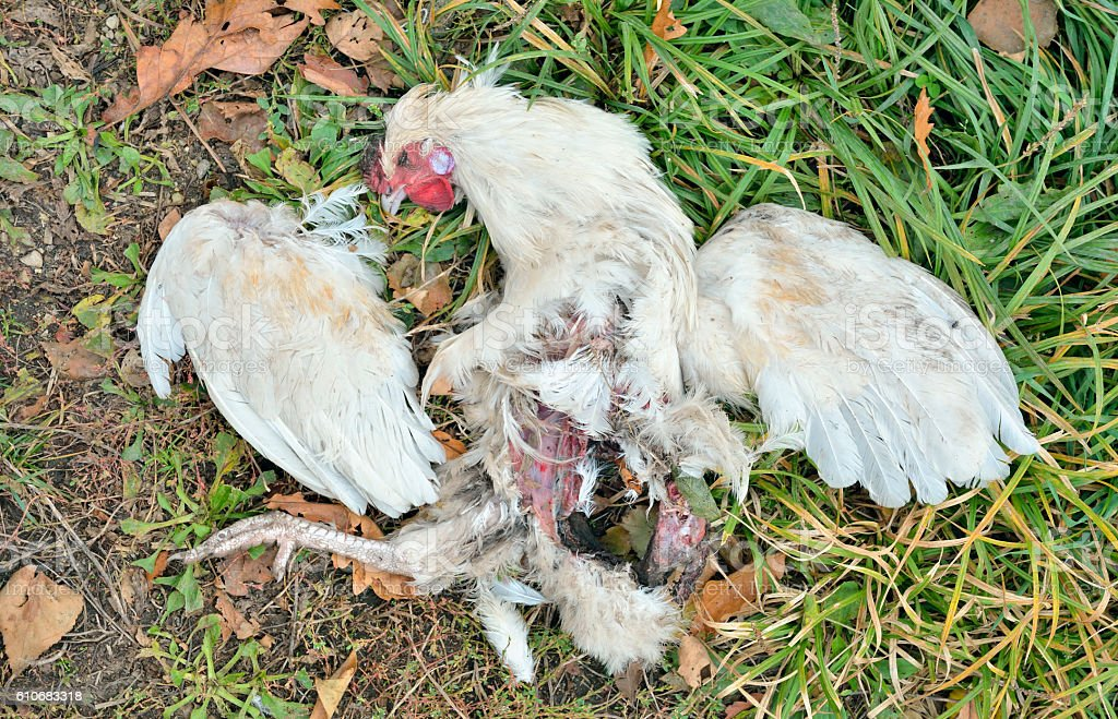 Dead hen stock photo