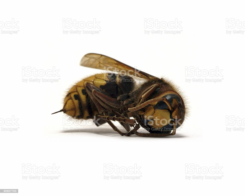 dead hornet with spike royalty-free stock photo