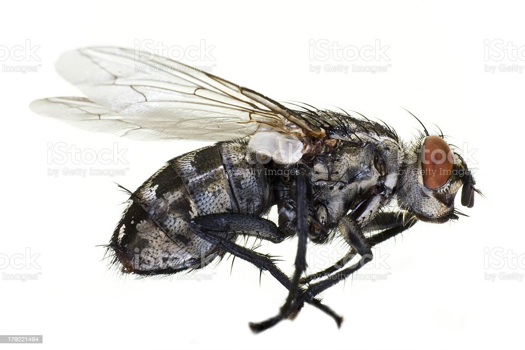 dead horse fly in close up stock photo
