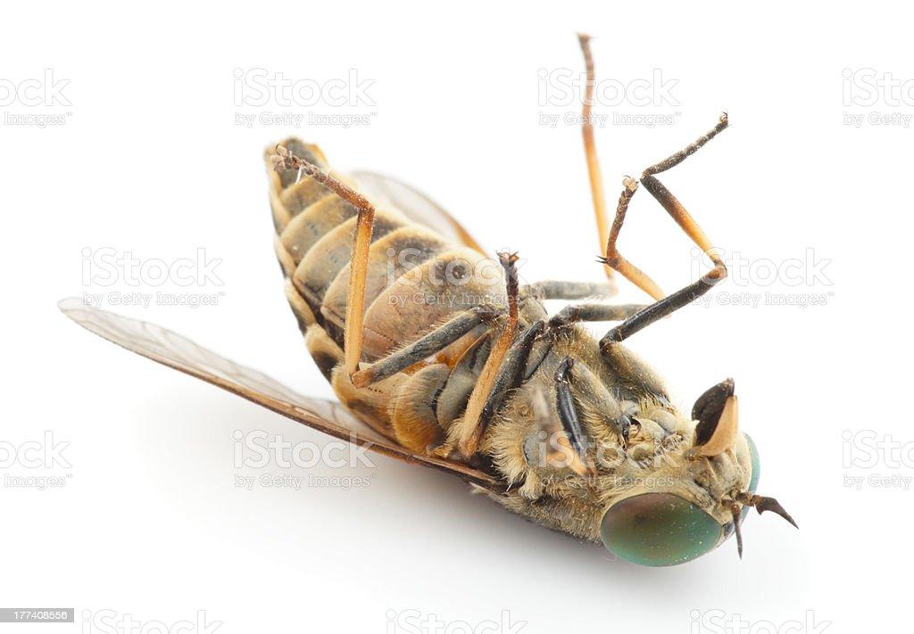 Dead horsefly, isolated royalty-free stock photo
