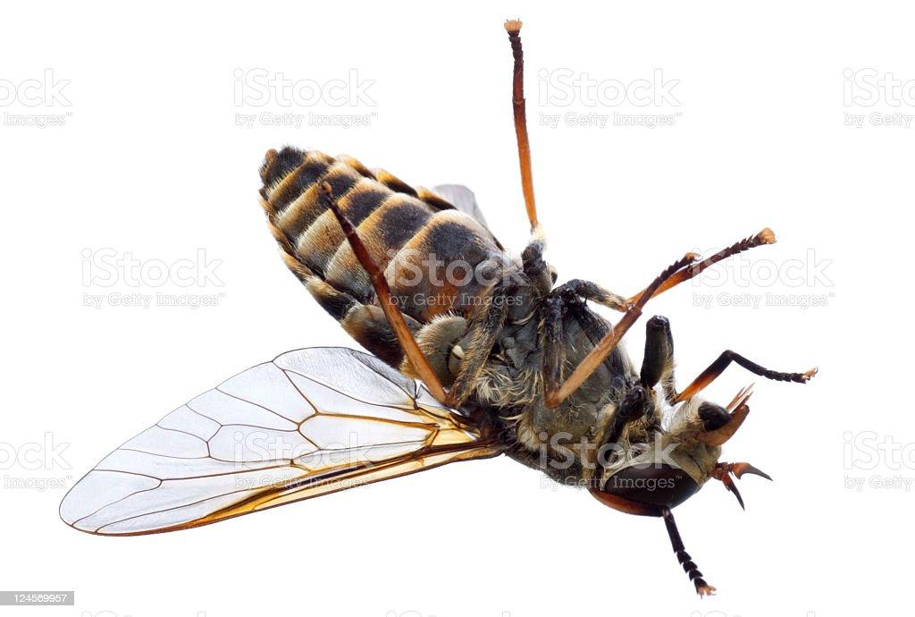 dead horsefly stock photo