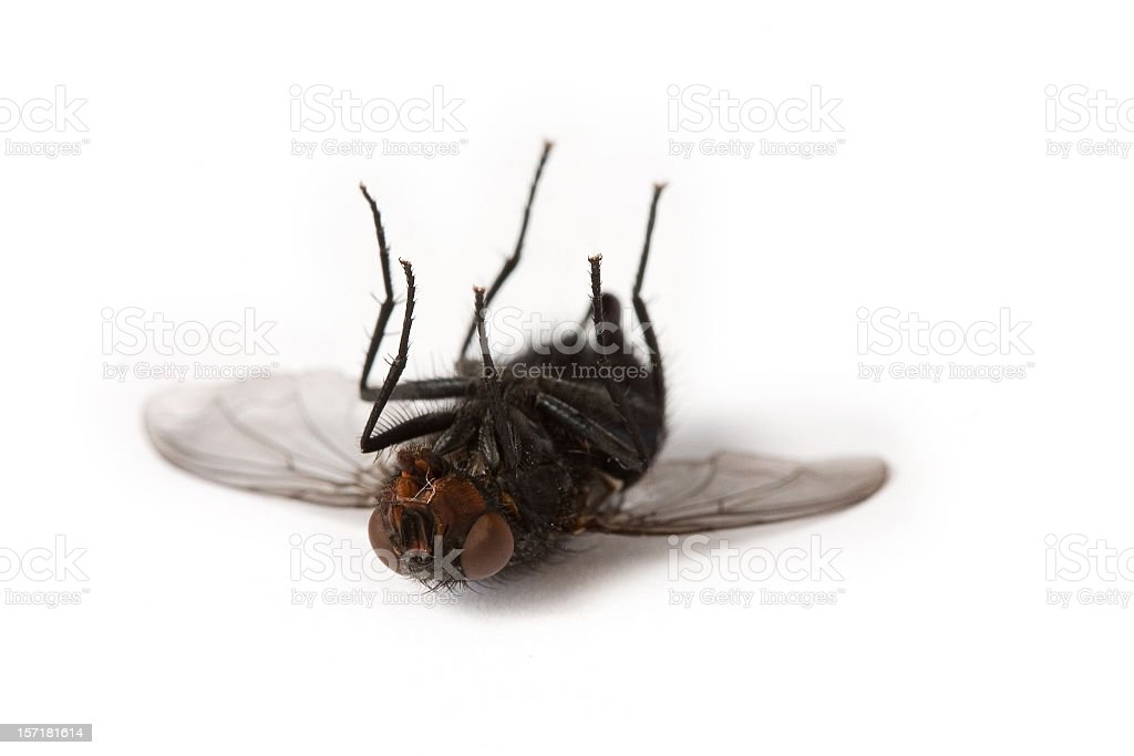 Dead house fly stock photo
