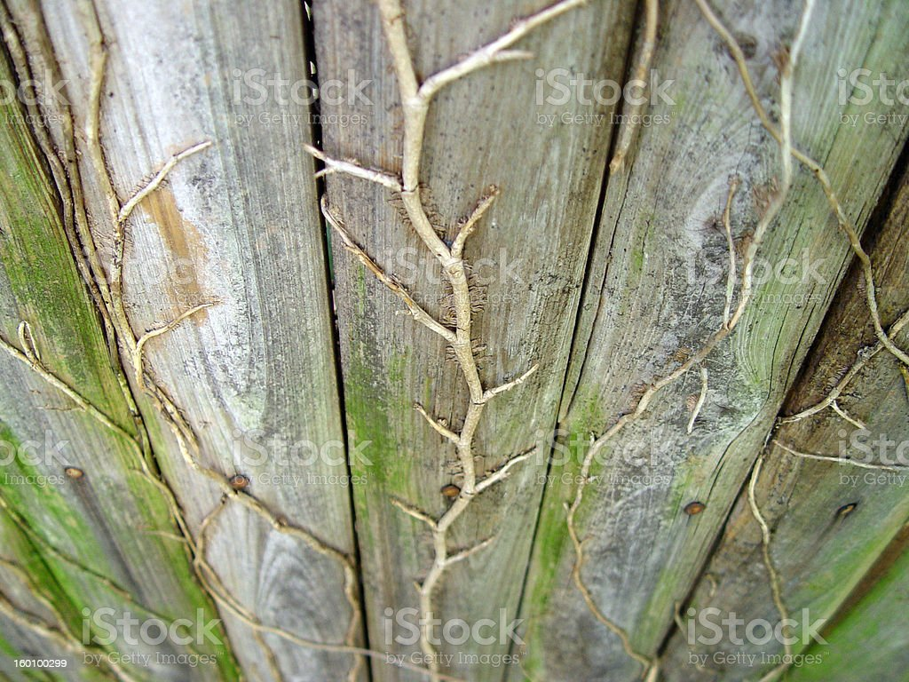 Dead Ivy Clmbing Old Fence royalty-free stock photo