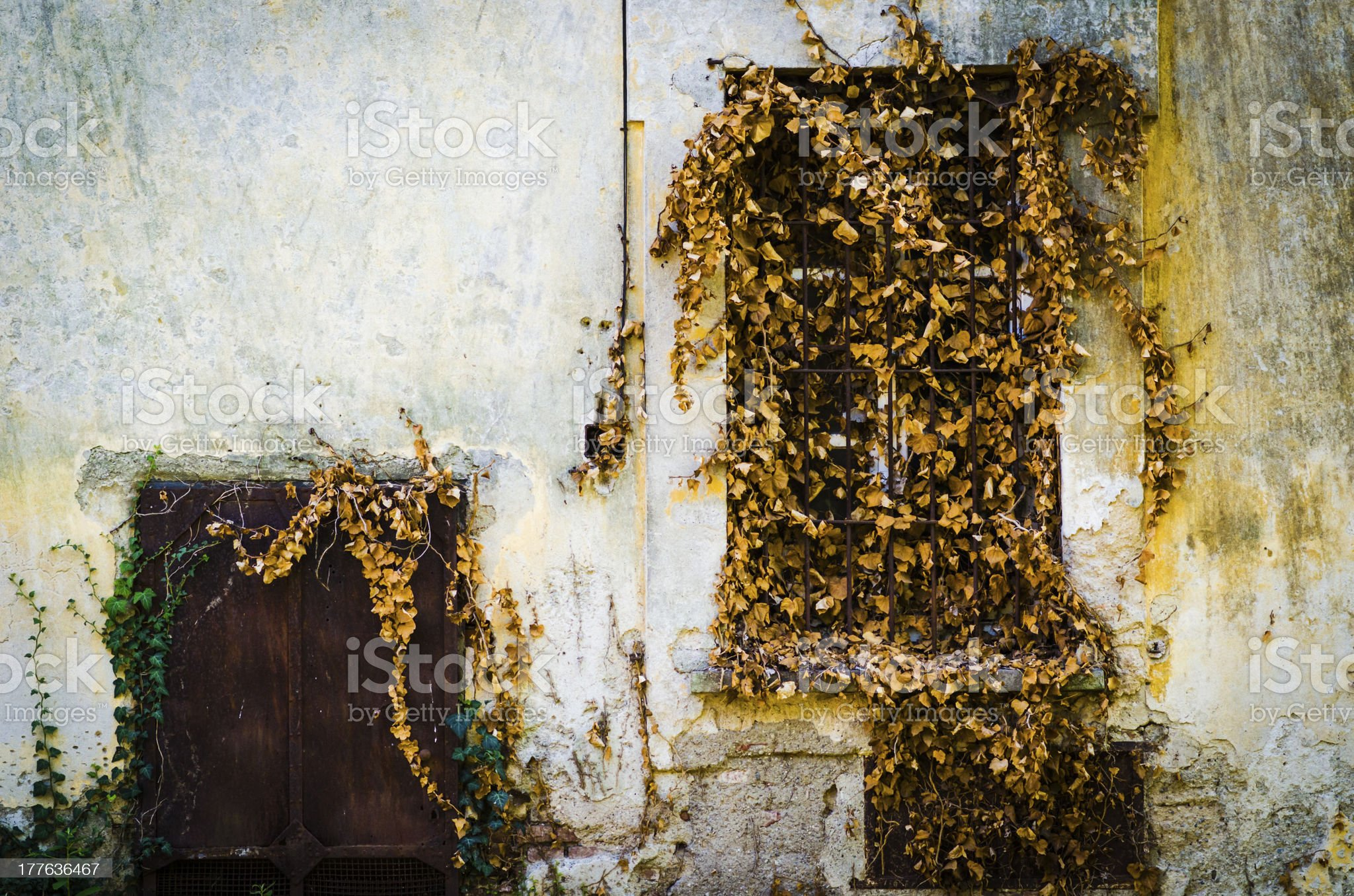 dead ivy on old window and textured wall royalty-free stock photo