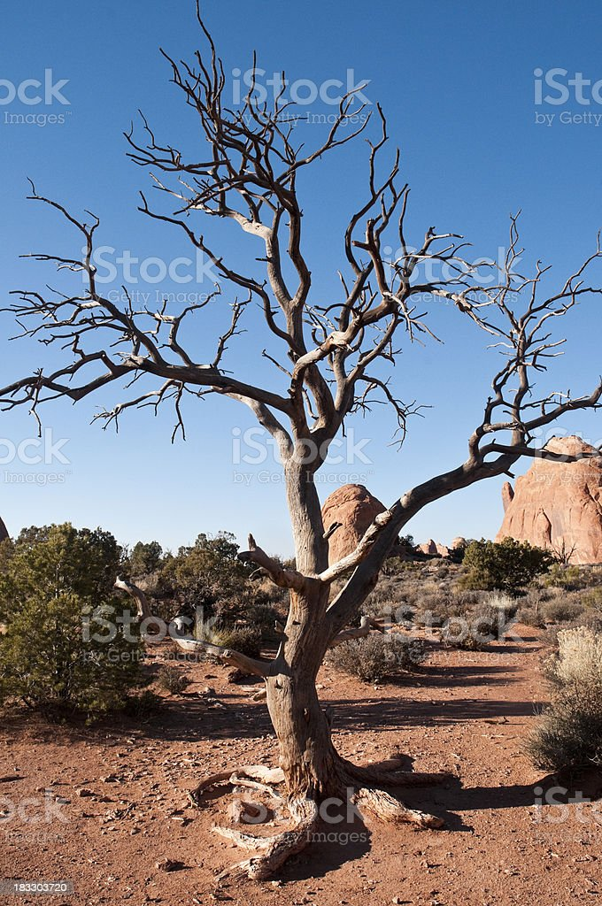 Dead Juniper in Arches National Park, Utah royalty-free stock photo