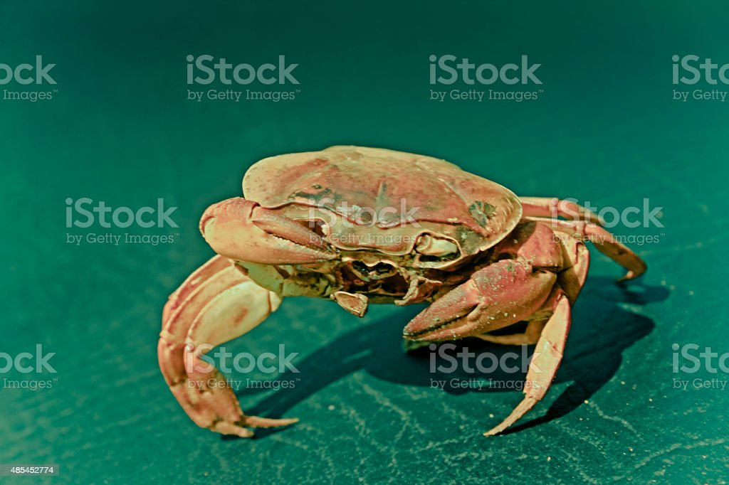 Dead Land crab, Usually seen in the monsoon, India stock photo