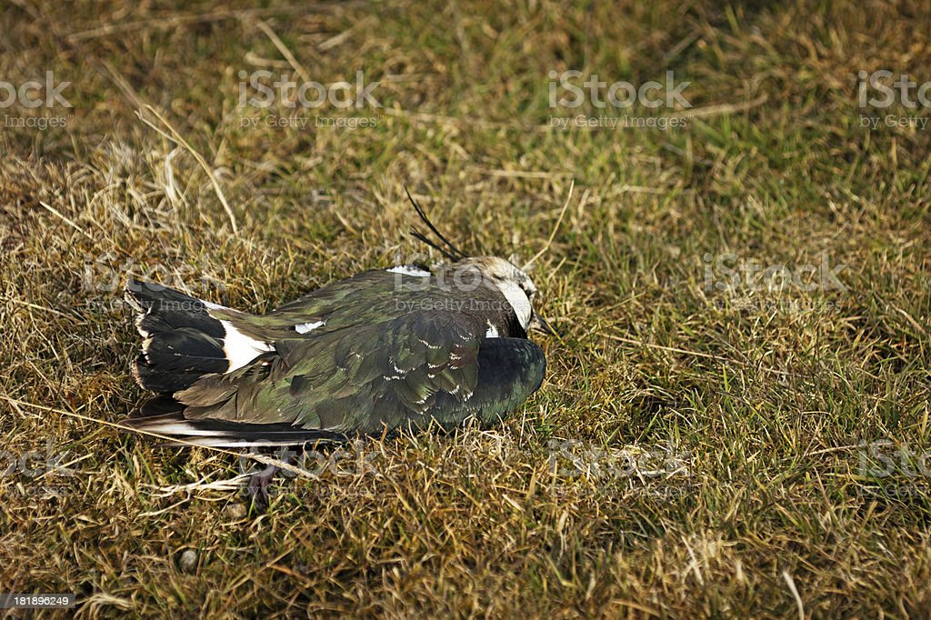 Dead Lapwing royalty-free stock photo