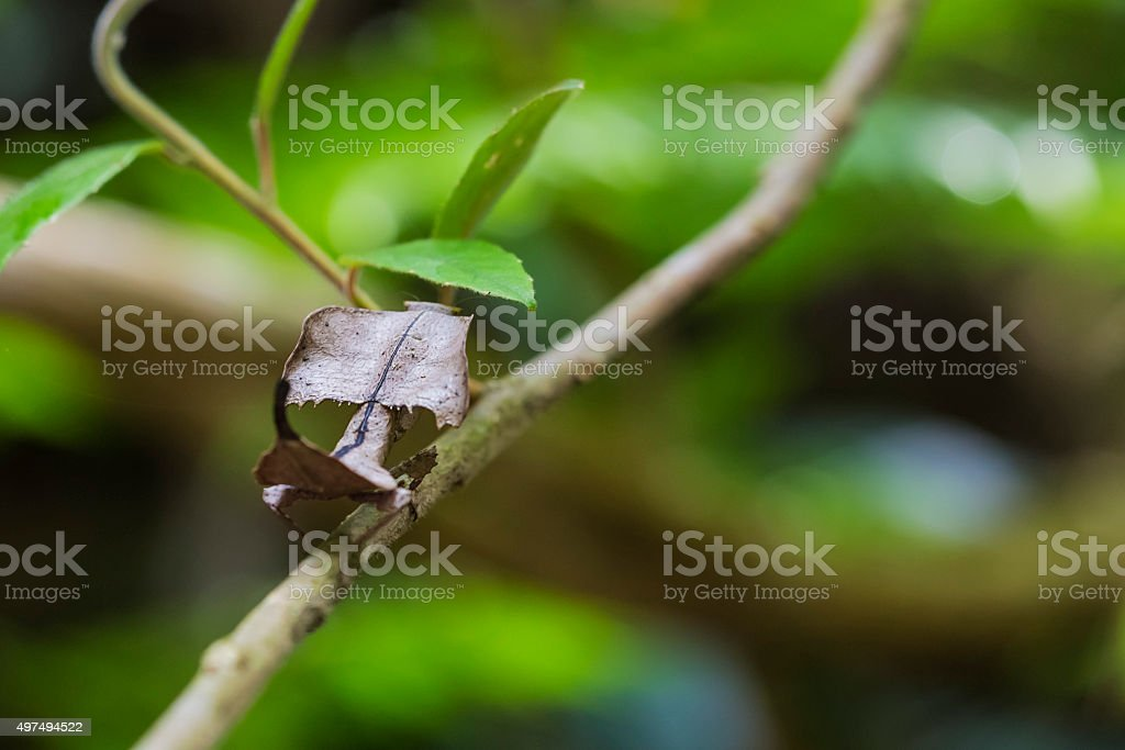Dead leaf mantis on a branch in Madagascar. stock photo