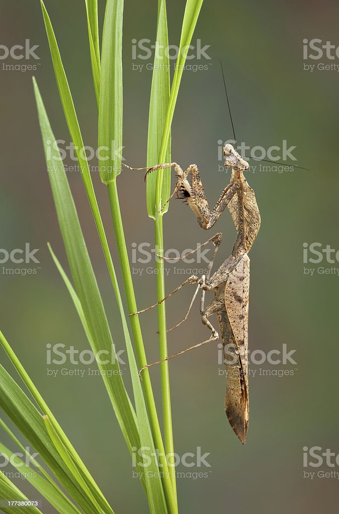 Dead leaf mantis on grass stock photo