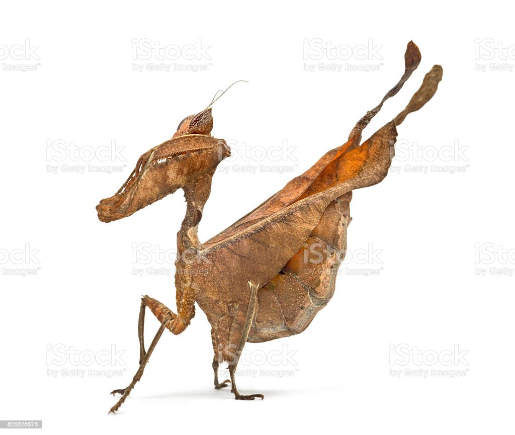 dead leaf mantises - Acanthops Sp - isolated on white stock photo
