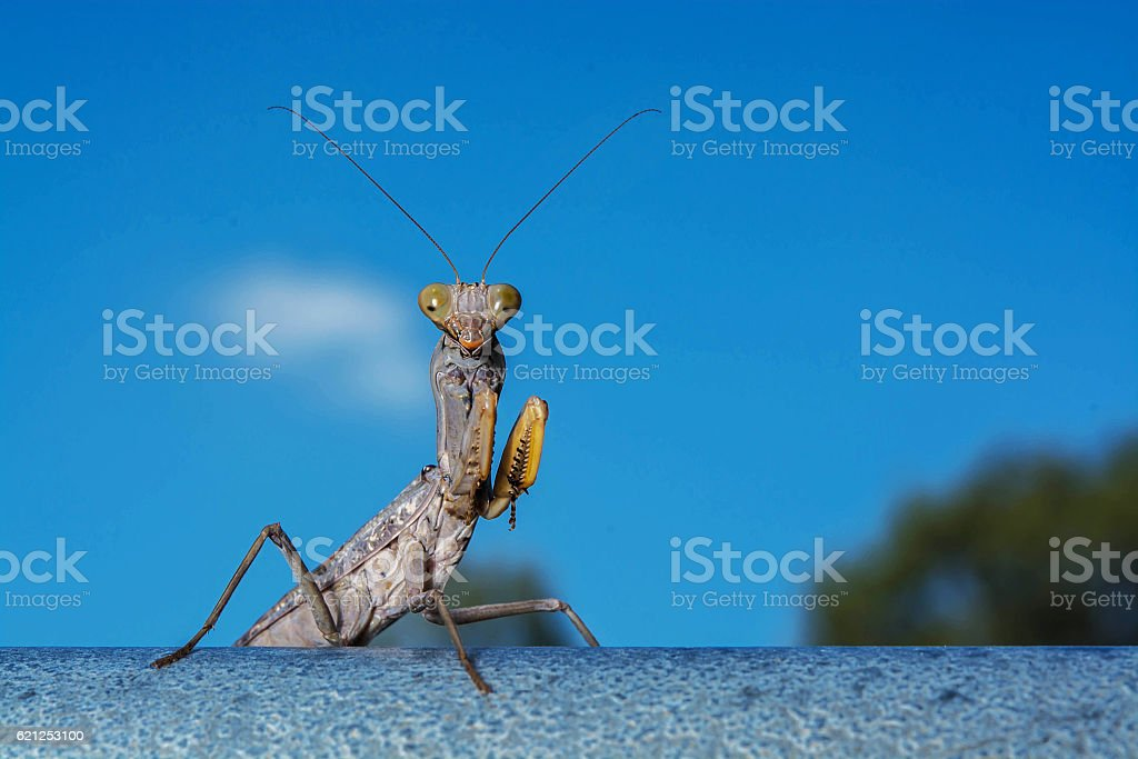 Dead Leaf Praying Mantis - Mantis religiosa in forest stock photo