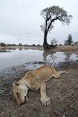 dead lioness