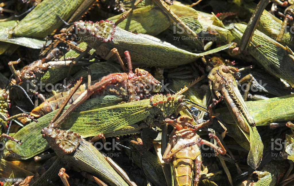 Dead locusts, Eritrea royalty-free stock photo