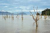 Dead mangrove trees in water