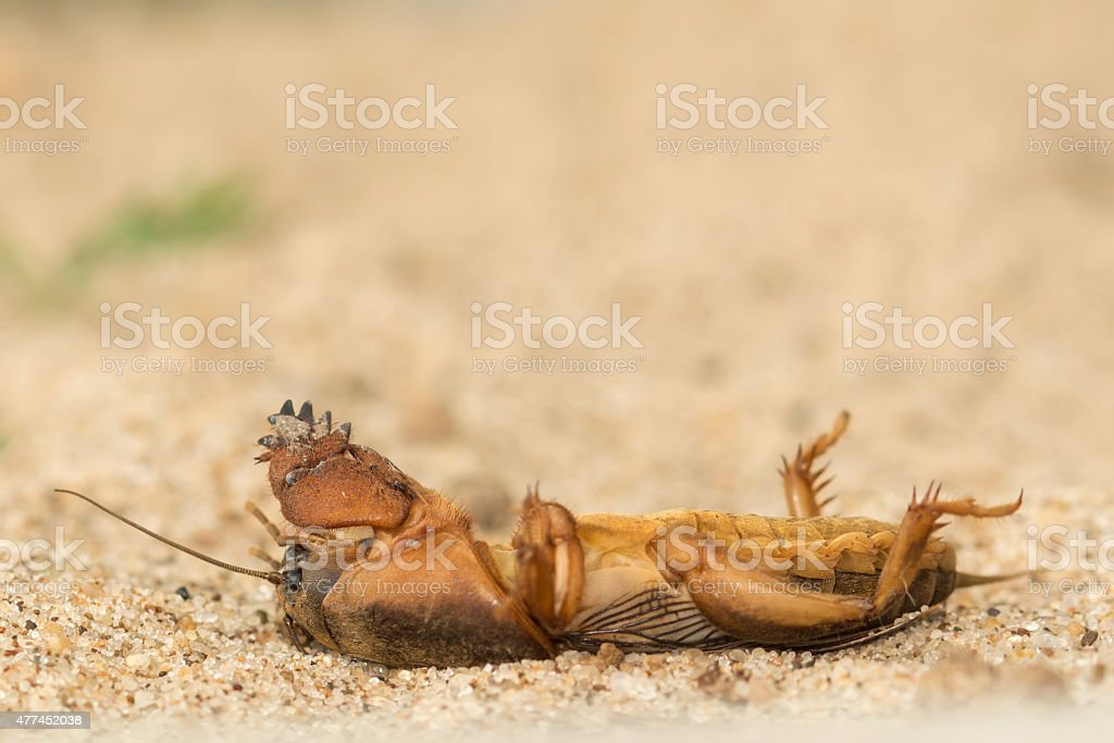 dead mole cricket stock photo