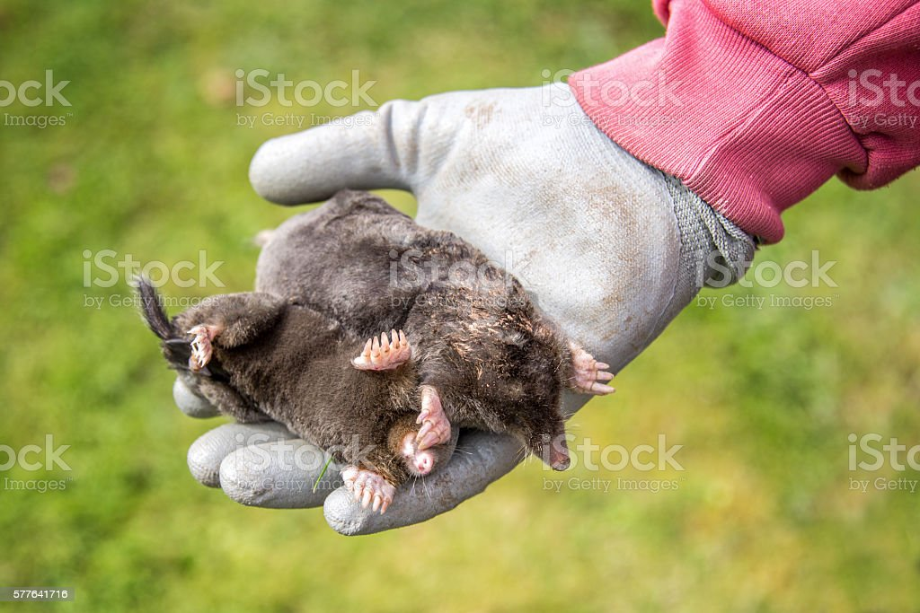 Dead moles in a gloved hand, garden background stock photo