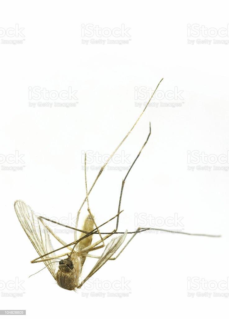 Dead mosquito midge royalty-free stock photo