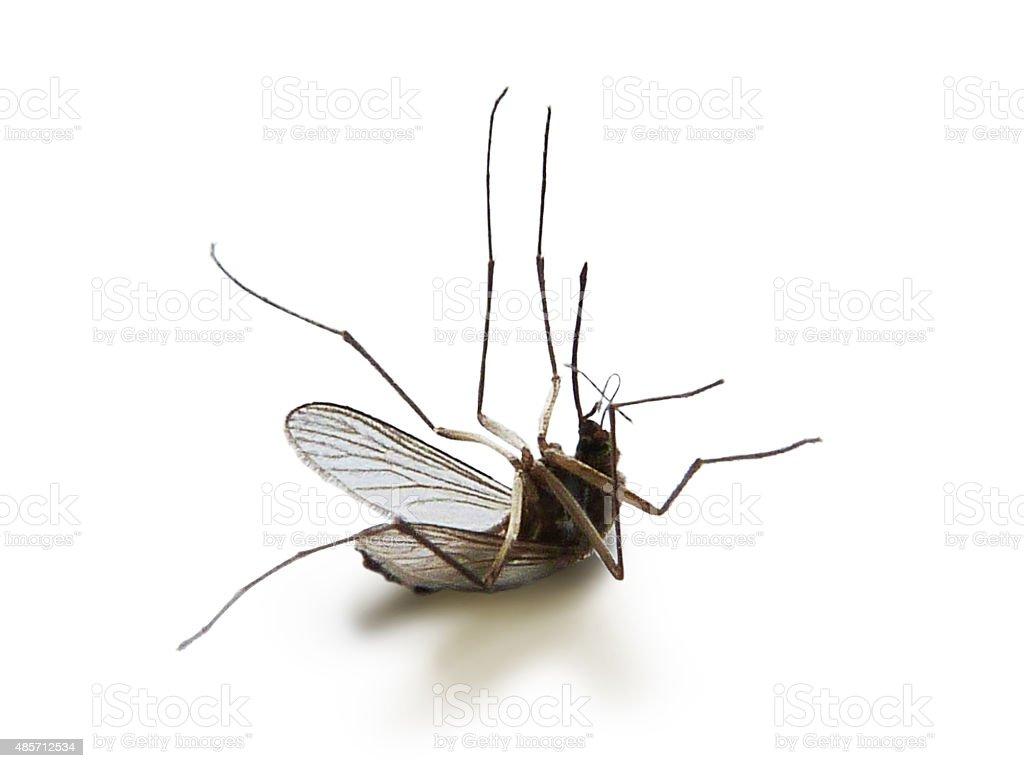 Dead Mosquito stock photo