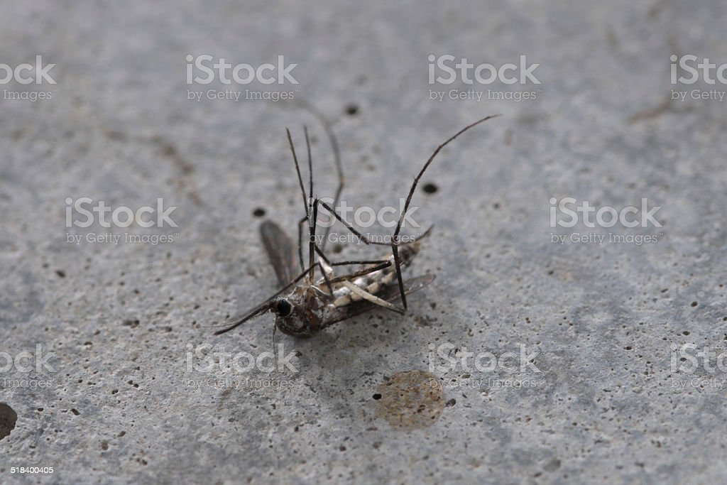 Dead mosquito stock photo