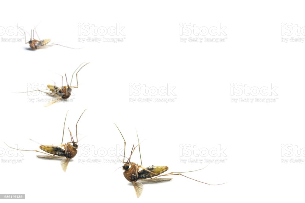 Dead mosquitoes on white background stock photo
