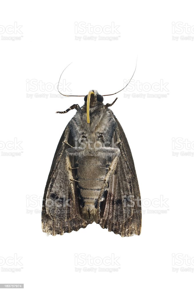 Dead Moth Against White background royalty-free stock photo