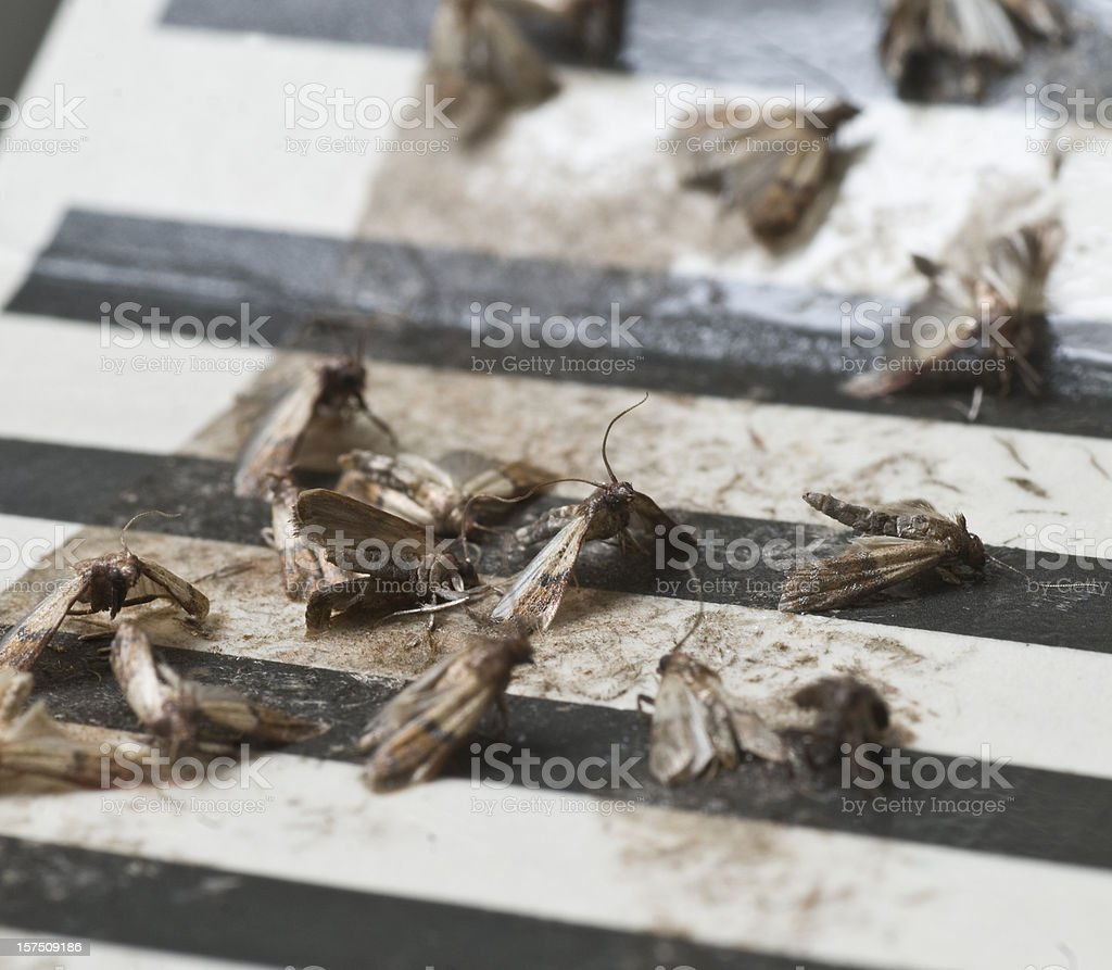 dead moth on trap stock photo