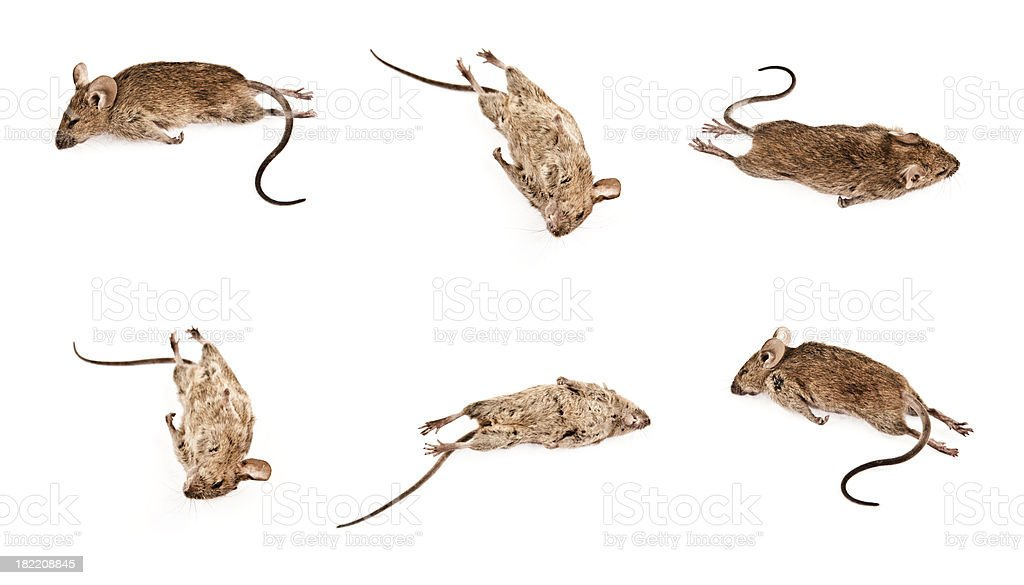 Dead Mouse on White Background stock photo