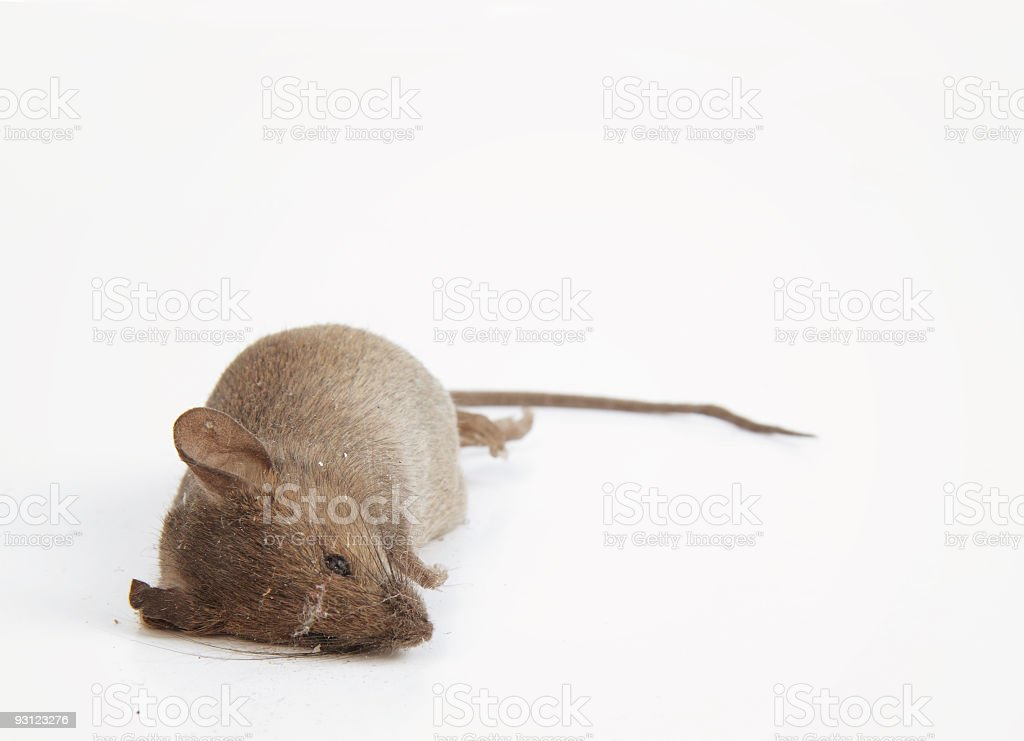 Dead mouse royalty-free stock photo