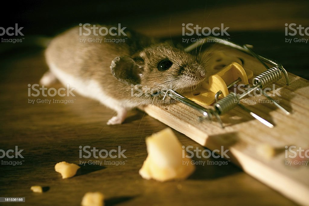 Dead mouse stock in a mousetrap on the floor royalty-free stock photo