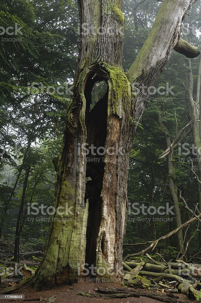 dead oak in the virgin forest 'Sababurg' royalty-free stock photo