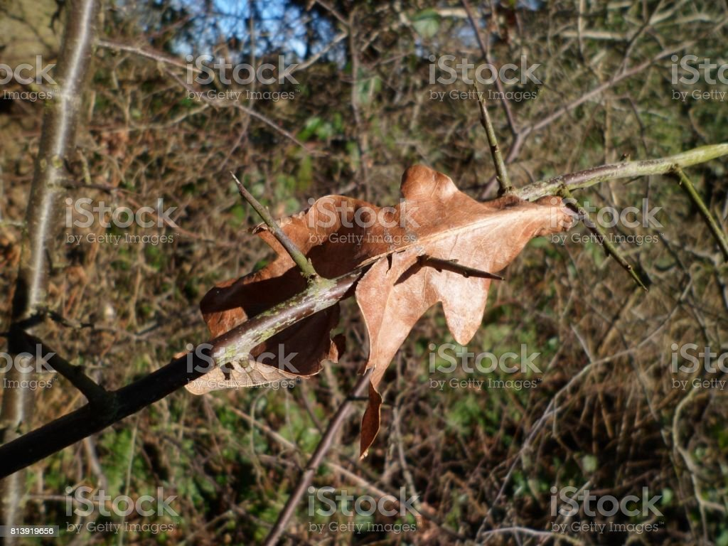 Dead Oak Leaf Pierced By A Thorn stock photo