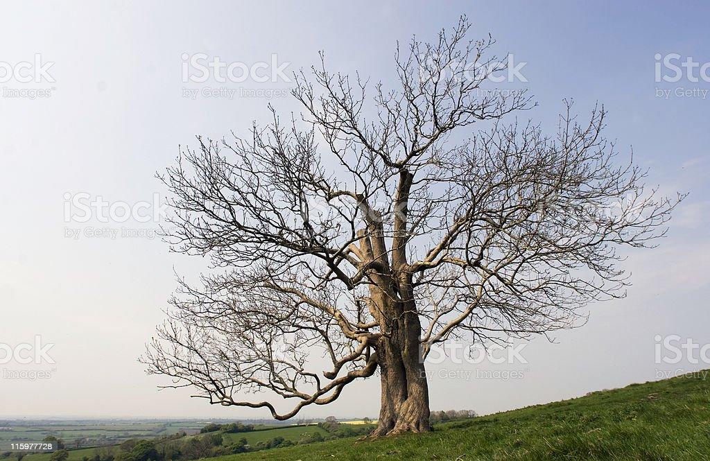 Dead Oak On A Hill royalty-free stock photo