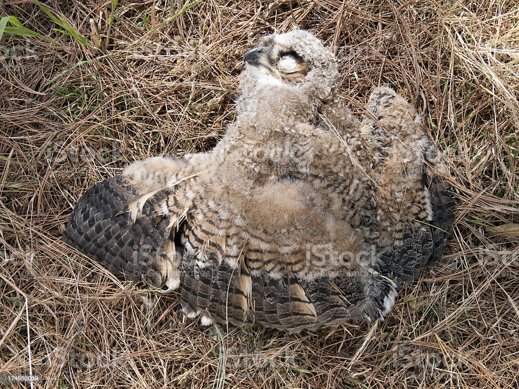 Dead Owl royalty-free stock photo
