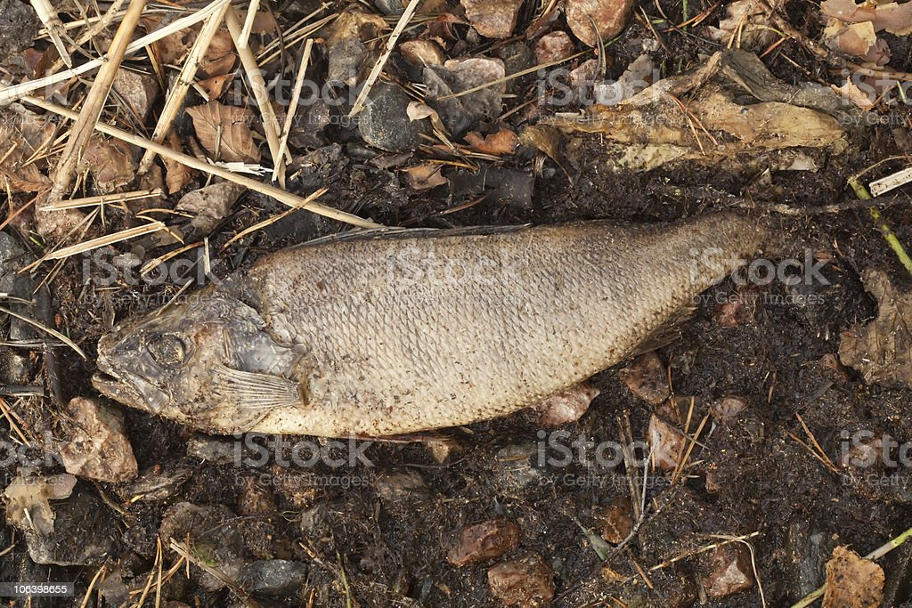 Dead perch rottening on the beach royalty-free stock photo