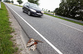 Dead pheasant on the road