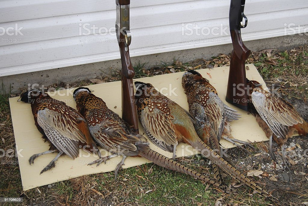 Dead pheasants and shotguns after hunting trip royalty-free stock photo