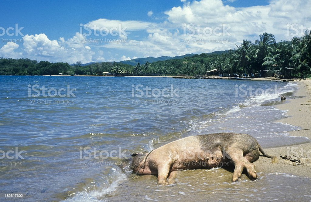 dead pig on the beach royalty-free stock photo