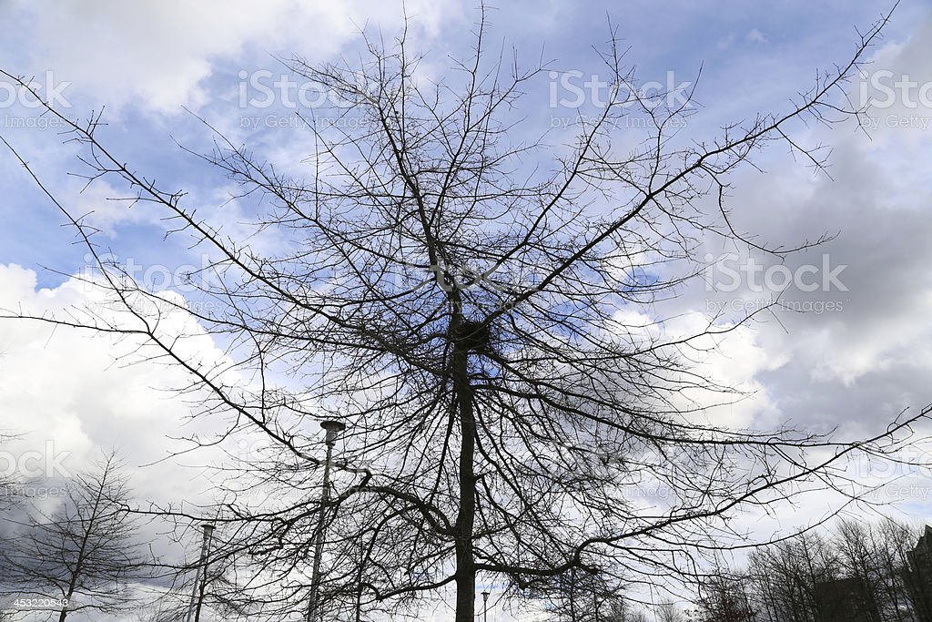 Dead Pine against the sky royalty-free stock photo