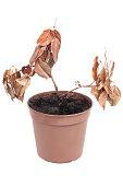 Dead plant in pot