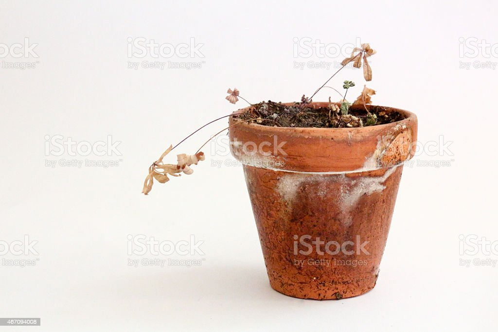 Dead Potted Plant on White Background stock photo