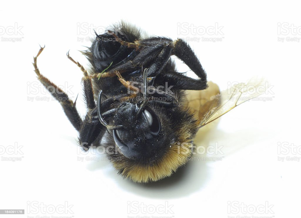 Dead Queen Bee royalty-free stock photo